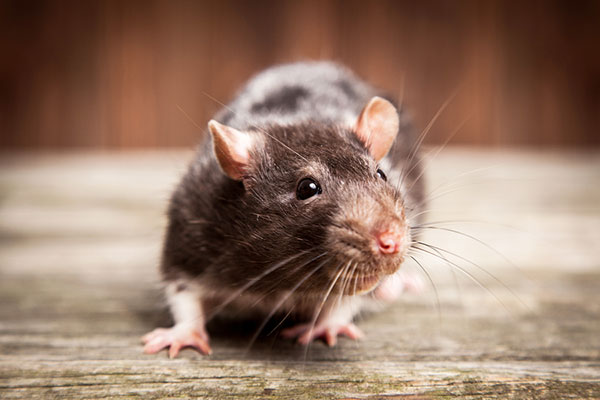 Rats and Mice Removal
