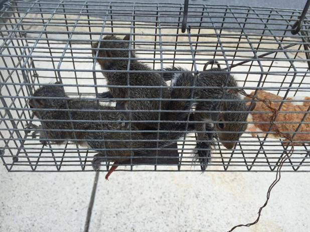 Wildlife Removal Atlanta