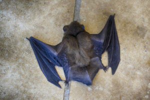 Common Mistakes When Removing Bats Yourself - Atlanta GA - Smart Solutions