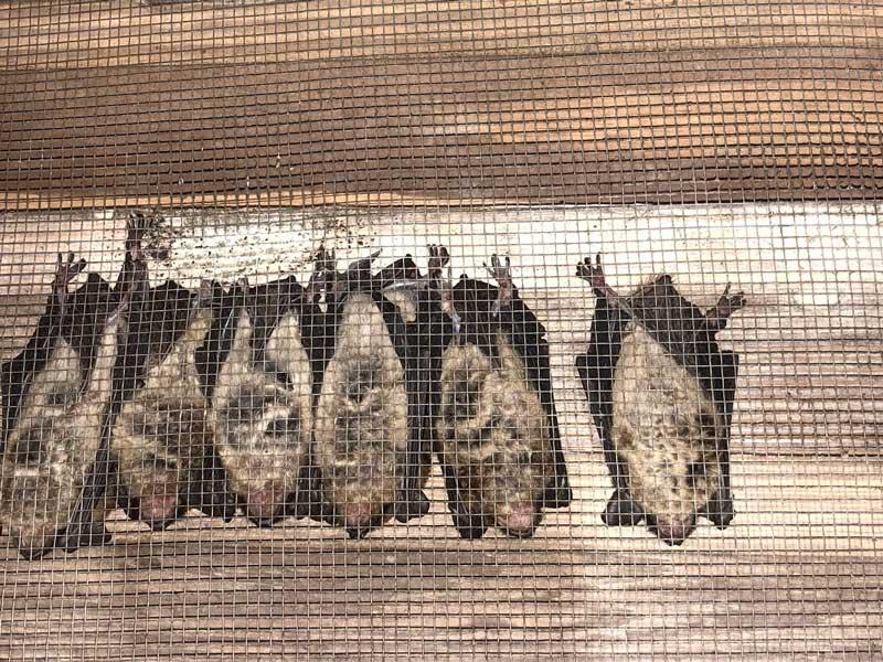 bat exclusion Buckhead