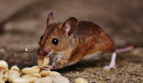 a pic of a rat