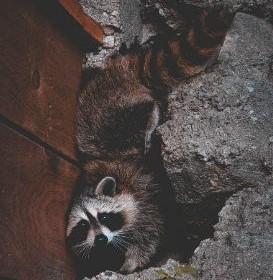 raccoons in attic Alpharetta