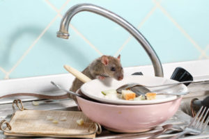 mouse eating scraps from the kitchen sink