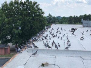 commercial bird removal Atlanta