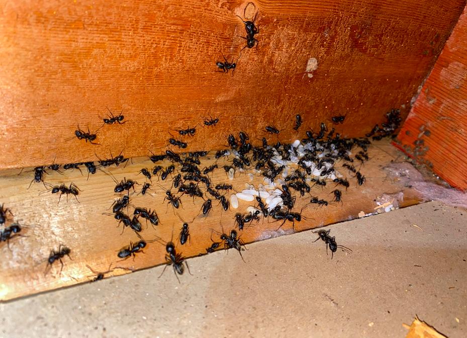 carpenter ant removal in atlanta